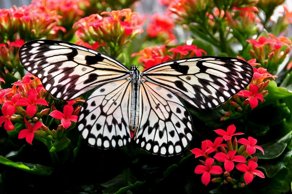 arbre à papillon